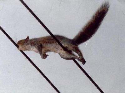 Squirrel that has bridged two power lines and appears to be chewing on one
